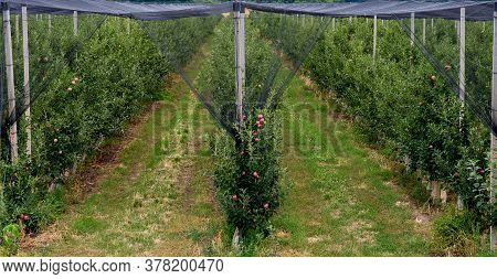 Apple Orchard In Bulgarian. Anti-hail Net Protection For Fruit