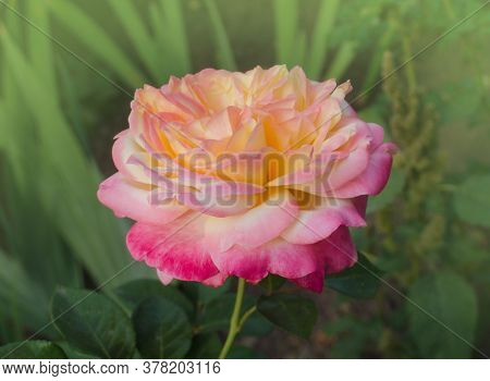 Rose With Two Colors In A Single Flower. Two Tone Blooming Rose Peace