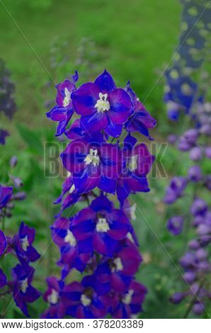 Delphinium Blue Pacific Giants