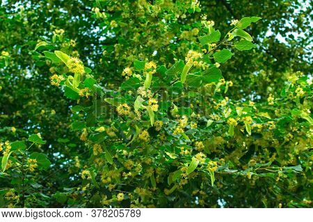 Linden Blossom On The Branches Of A Linden Tree. Linden, Linden Flowers On The Tree. Background From