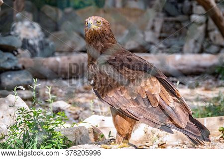 The Bird Of Prey, Steppe Eagle Proudly Sits In The Aviary And Looks Closely. Aquila Nipalensis