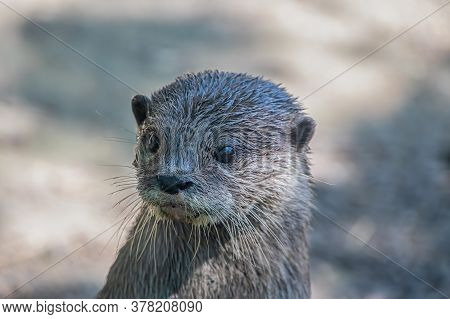 Portrait Of An Asian Small-clawed Otter (amblonyx Cinerea)