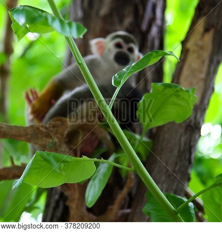 Green Tree Branch On Background Squirrel Monkeys Of The Genus Saimiri. A Monkey Sits On A Tree Branc