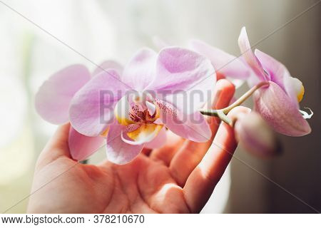 Purple Orchid Phalaenopsis. Woman Taking Care Of Home Plants. Close-up Of Female Hands Holding Viole