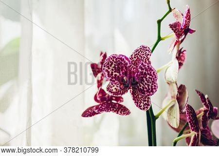 Wild Cat Orchid Phalaenopsis. Home Plants Care. Close-up Of Violet Flowers With Dots Ornament