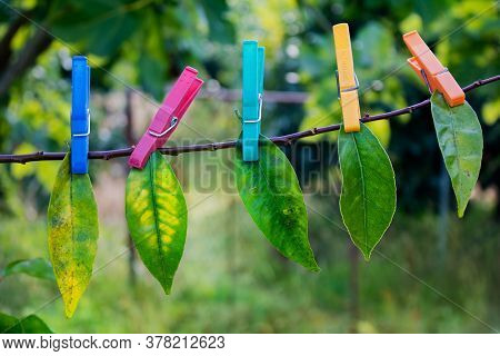 Backlit Green Leaves Hanging With Colorful Plastic Clothespins On Tree Branch