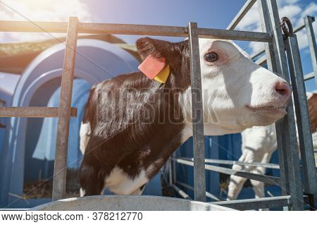 Young Cute Calf In Box Or Calf-houses At Dairy Farm. Breeding Cattle For Production Of Dairy Or Milk