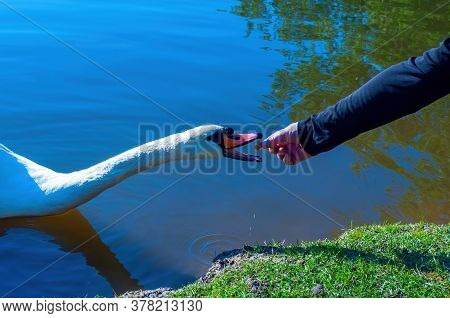 A Mans Hand Feeds A Swan In The Lake With Bread. Stock Photo