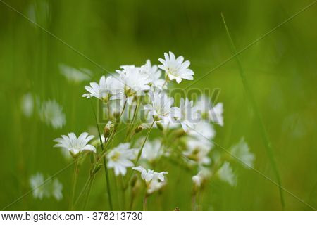 Forest Chamomile, White Wildflowers In The Meadow, Seasonal Flowers On The Background Of Green Grass