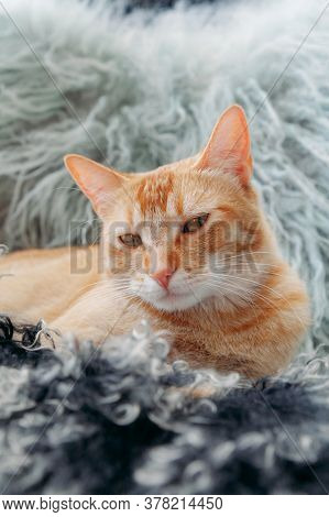 Close-up Domestic Red Cat Lying On Colored Animals Fur. Looking Lazy At Camera. Concept Of Pet Care.