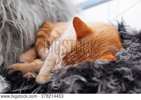 Close-up Head Of A Sleeping Red Domestic Cat. Cute Cat Resting At Home On The Bad.