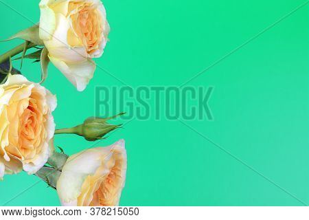 A Yellow Rose Isolated On Green Background. Yellow Flowers Isolated. Flat Lay. Copy Space. Postcard.