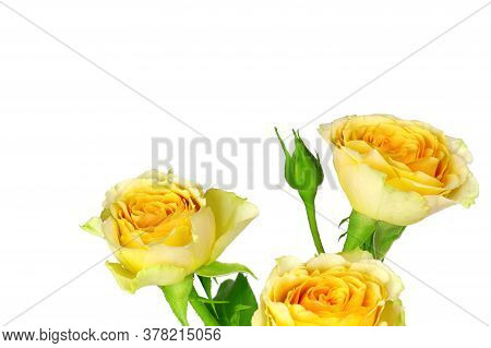 A Yellow Rose Isolated On White Background. Yellow Flowers Isolated. Flat Lay. Copy Space. Postcard.