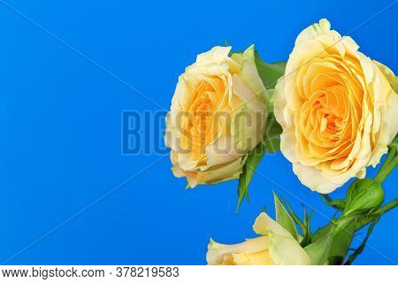A Yellow Rose Isolated On Blue Background. Yellow Flowers Isolated. Flat Lay. Copy Space. Postcard.