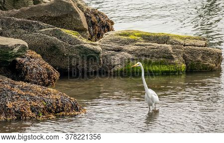 A Heron With A Long Neck And Yellow Beak Standing In The Water In Front Of Mossy Rocks Near Jamestow