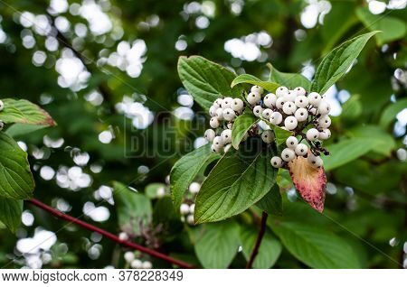 A Twig Of A Redstem Dogwood Or Cornus Sericea With Sphere Shaped White Berries