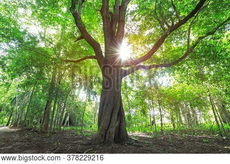 The Sun Shining Through A Majestic Green Tree, Autumn Forest Trees. Nature Green Wood Sunlight Backg