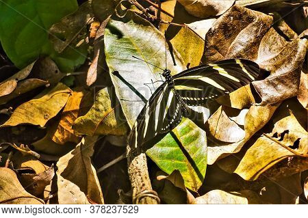 A Beautiful Unusual Butterfly Perched On Fallen Leaves. The Narrow Wings Are Spread. Coloring Is Bla