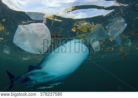 Plastic pollutes the ocean. Whale Shark may eat plastic bags, straws and cups which pollute the sea. Environmental conservation problem. Water pollution due to lack of recycling