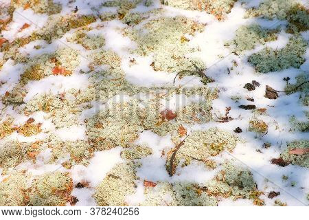 Moss Yagel Under The Snow In The Northern Forest, Leaves And Needles Of Pine Trees In White Snow. Ba