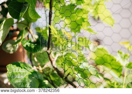 A Sprout Of A Vine On The Background Of Large Leaves And A Netting Netting