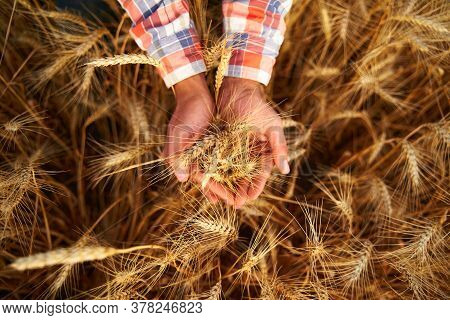 Farmer Holding A Bunch Of Ripe Cultivated Wheat Ears In Hands. Agronomist In Flannel Shirt Examine C
