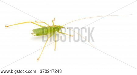 Grasshopper In Front Of A White Background.