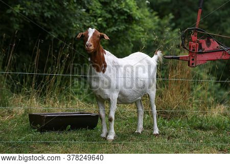 A White Goat Stands In A Farmyard