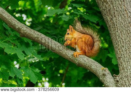 A Red Squirrel Sits On A Rock Near A Reservoir. Squirrel On The Ground. Protein In Its Natural Habit