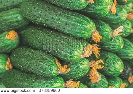 Side View Of Pile Of Green Ripe Cucumbers. A Lot Of Juicy Green Cucumbers With Pimples. Texture Back