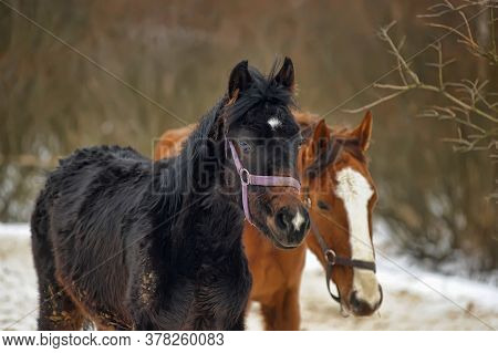 Brown Horse With Foal In Winter In The Aviary