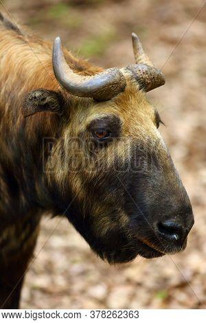 The Mishmi Takin (budorcas Taxicolor Taxicolor), Portrait. An Endangered Goat-antelope Portrait.