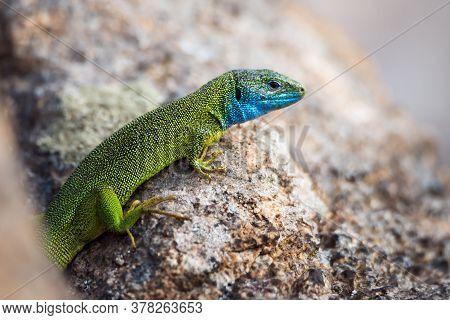 Close-up Of Bright Green Lizard