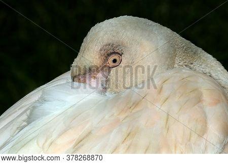 Flamingos Or Flamingoes /fləˈmɪŋɡoʊz/ Are A Type Of Wading Bird In The Family Phoenicopteridae, The