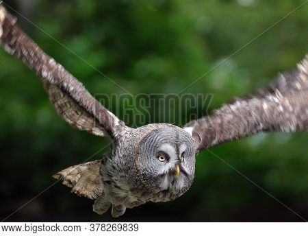 Great Grey Owl\nthe Great Grey Owl Or Great Gray Owl Is A Very Large Owl, Documented As The World\'s