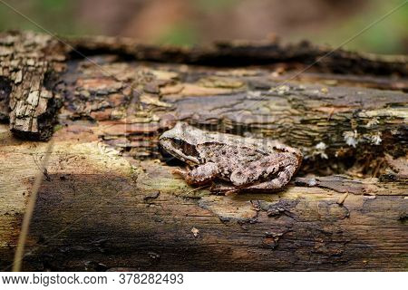 Forest Frog Disguises Itself In The Bark Of A Tree