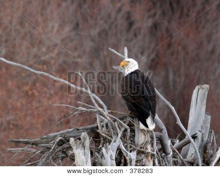 Bald Eagle Perched On A Log Jam