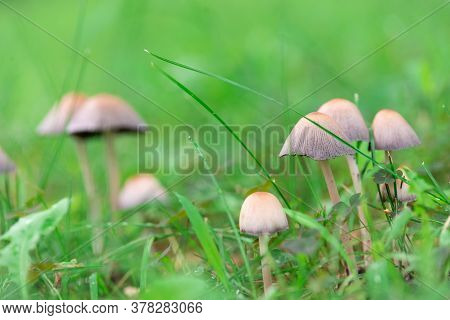 Mushrooms In Grass Nature Background. Closeup Of Wild Mushrooms. Nature Background Of Small Poisonou