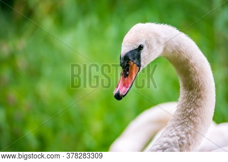 Mute Swan (cygnus Olor) Profile At The Lakeside. Blurred Green Grassland In The Background.