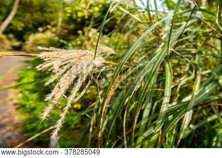 Maiden Grass, Japanese Silver Grass (miscanthus) Tall Stalks In Unzen-amakusa National Park In Autum