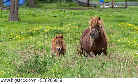 Brown Pony With Foal In A Meadow With Flowers