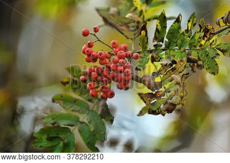 Closeup Of Bunch Of Red Ashberries On The Branch In Blue Sky Background
