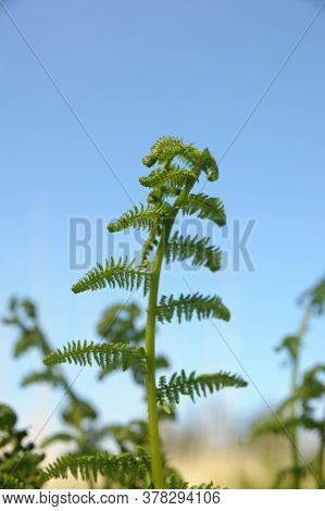 Fern Leaf Just About To Unfurl, A Type Of Pteridophyte Plant