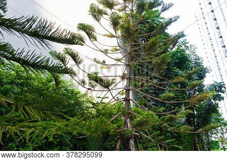 Green Conifers In Asia. Gardening Of The Local Area