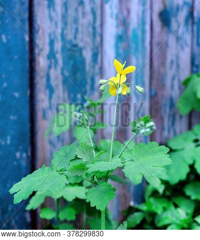 Flowering Herb Celandine, On The Background Of Old Shabby Wooden Boards Close-up