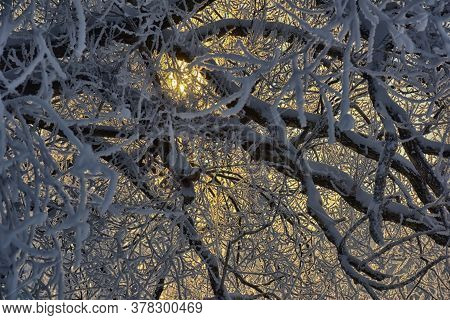 Branch Tree In Snow. Winter Snow Sunshine Background. Tree Branches Covered With Hoarfrost Against T