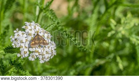 Small Brown Butterfly On White Flower In Vegetation Ambiance