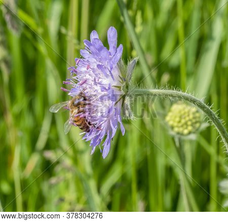 Field Scabious Flower Head And Honey Bee In Sunny Ambiance