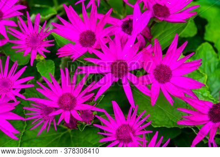 Beautiful Closeup Of Purple Senetti Pericallis Flowers, Tropical Plant Specie From The Canary Island