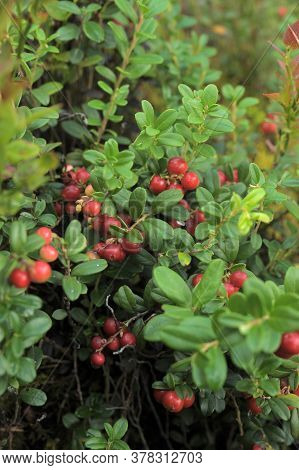 Bushes Of Bilberries With Berries In The Forest